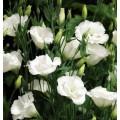 Эустома махровая Синдерелла F1 эйвори /100 семян/ *Syngenta Seeds*
