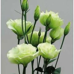Эустома махровая Синдерелла F1 лайм /100 семян/ *Syngenta Seeds*