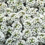 Алиссум Кристал белый /1.000 семян/ *Pan American*