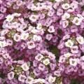 Алиссум Кристал лавандовый /1.000 семян/ *Pan American*