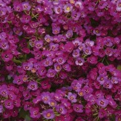 Алиссум Кристал пурпурный /1.000 семян/ *Pan American*