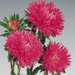 Астра китайская Гала карминно-розовая /1.000 семян/ *Benary*