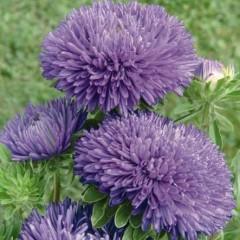 Астра Гала синяя /1.000 семян/ *Benary*