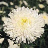 Астра китайская Принцеса Бенари белая /1.000 семян/ *Benary*