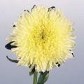 Астра китайская Принцеса Бенари желтая /1.000 семян/ *Benary*