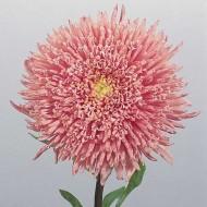 Астра китайская Принцеса Бенари лососево-розовая /1.000 семян/ *Benary*