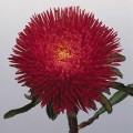 Астра китайская Принцеса Бенари темно-красная /1.000 семян/ *Benary*