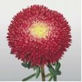 Астра китайская Принцеса Бенари ярко-красная /1.000 семян/ *Benary*