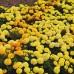 Бархатцы африканские Антигуа F1 cмесь /1.000 семян (драже)/ *Syngenta Seeds*
