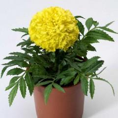 Бархатцы африканские Антигуа F1 лимонные /1.000 семян (драже)/ *Syngenta Seeds*
