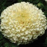 Бархатцы Ванила белые /100 семян/ *Pan American*