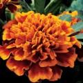 Бархатцы французские Жани флейм /1.000 семян/ *Pan American*
