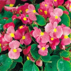 Бегония Варсити F1 (зеленый лист) пинк /1.000 семян/ *Syngenta Seeds*
