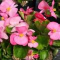 Бегония Варсити F1 (зеленый лист) розовая /1.000 семян/ *Syngenta Seeds*