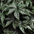 Бегония Грифон /50 семян/ *Pan American*