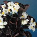 Бегония Эрика F1 (бордовый лист) белая /1.000 семян/ *Syngenta Seeds*
