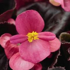 Бегония Эрика F1 (бордовый лист) розовая /1.000 семян/ *Syngenta Seeds*