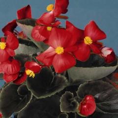Бегония Эрика F1 (бордовый лист) скарлет /1.000 семян/ *Syngenta Seeds*