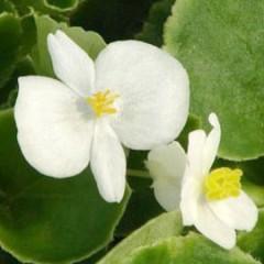 Бегония Эрика F1 (зеленый лист) белая /1.000 семян/ *Syngenta Seeds*