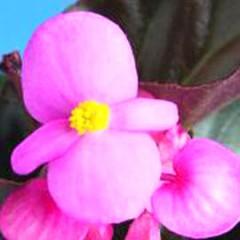 Бегония Эрика F1 (зеленый лист) розовая /1.000 семян/ *Syngenta Seeds*
