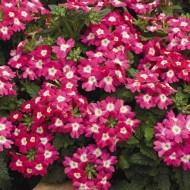 Вербена Тускани F1 розовая с глазком /100 семян/ *Syngenta Seeds*