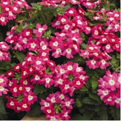 Вербена Тускани розовая с глазком /100 семян/ *Syngenta Seeds*