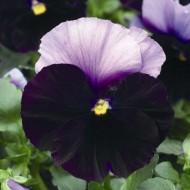 Виола Дельта F1 беаконсфилд /100 семян/ *Syngenta Seeds*