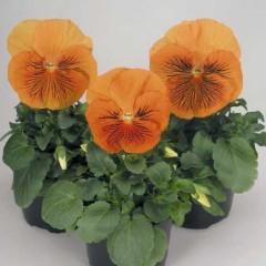 Виола витроока Кетс F1 оранжевая /100 семян/ *Benary*
