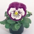 Виола витроока Кетс F1 пурпурно-белая /100 семян/ *Benary*