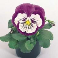 Виола Кетс F1 пурпурно-белая /100 семян/ *Benary*