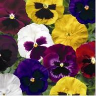 Виола витроока Колоссус F1 смесь /100 семян/ *Syngenta Seeds*