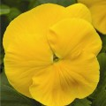 Виола витроока Маммут F1 желтая /100 семян/ *Syngenta Seeds*