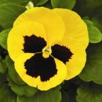 Виола витроока Маммут F1 желтая с глазком /100 семян/ *Syngenta Seeds*