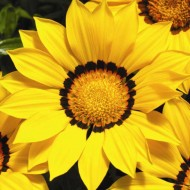 Газания Газу F1 желтая с ободком /100 семян/ *Syngenta Seeds*