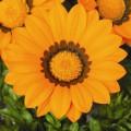Газания Газу F1 оранжевая с ободком /100 семян/ *Syngenta Seeds*