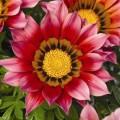 Газания Газу F1 пурпурная /100 семян/ *Syngenta Seeds*