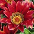 Газания Кисс F1 махогон /100 семян/ *Syngenta Seeds*