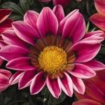 Газания Кисс F1 розовая /100 семян/ *Syngenta Seeds*