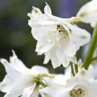 Дельфиниум Магический фонтан белый /200 семян/ *Benary*