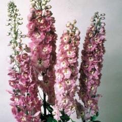 Дельфиниум Магический фонтан лилово-малиновый с белым глазком /200 семян/ *Benary*