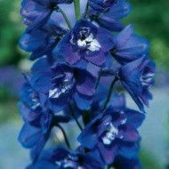 Дельфиниум махровый Гардиан F1 синий /100 семян/ *Pan American*