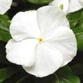 Катарантус Титан F1 белый /100 семян/ *Pan American*