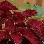 Колеус Визард Велвет Ред /100 семян/ *Pan American*