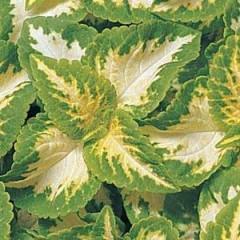Колеус Визард Джед /100 семян/ *Pan American*