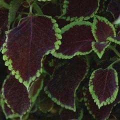 Колеус Сан Чоколет Минт /100 семян/ *Pan American*