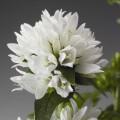 Колокольчик скученный Бельфлер белый /100 семян/ *Syngenta Seeds*
