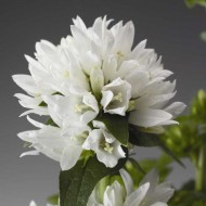 Колокольчик Бельфлер белый /100 семян/ *Syngenta Seeds*