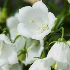 Колокольчик спиральнолистный Свингнинг Белс белый /1.000 семян/ *Syngenta Seeds*