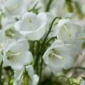 Колокольчик спиральнолистный Свингнинг Белс белый /200 семян/ *Syngenta Seeds*