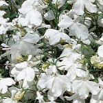Лобелия Ривьера белая /200 семян (драже)/ *Pan American*